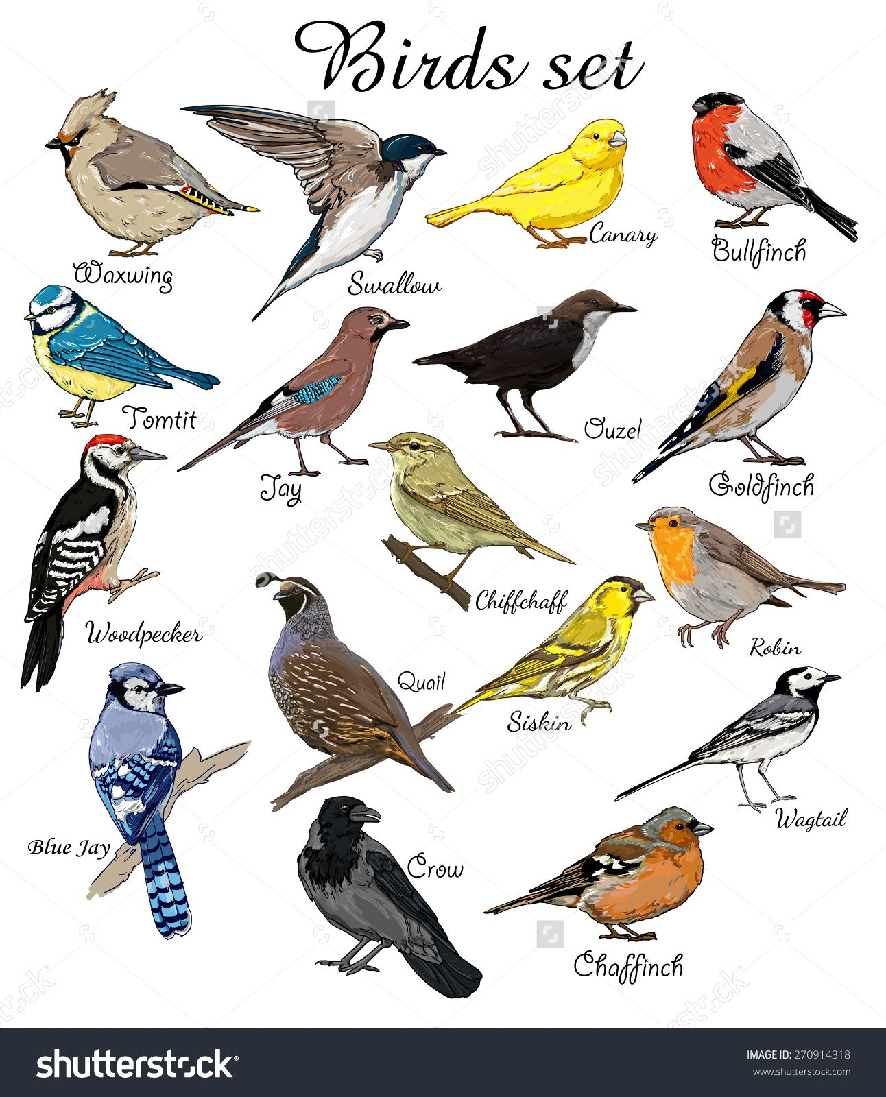 Big Set Birds Flying Animals Bird Silhouette Vector Crow BlueJay Canary Woodpecker Robin Chiffchaff Swallow Chaffinch Bullfinch