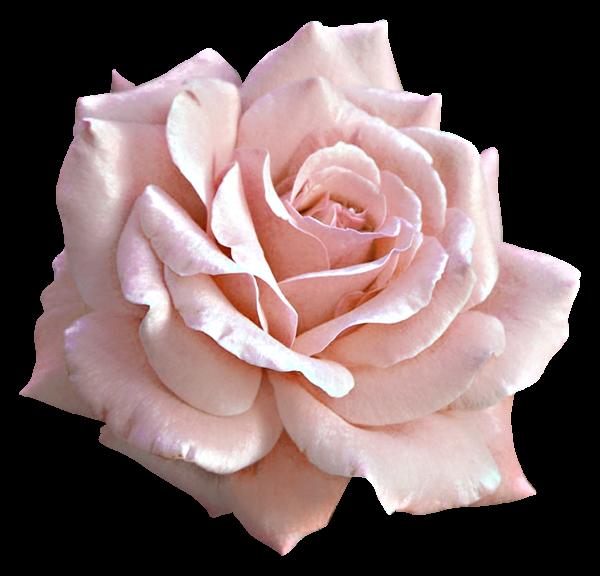 Large Light Pink Rose Png Clipart Pink Rose Png Pink Rose Tattoos Light Pink Rose