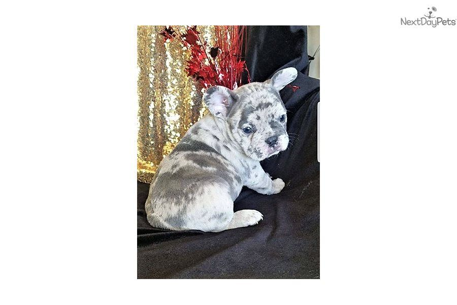Lil Ace French Bulldog Puppy For Sale Near Houston Texas