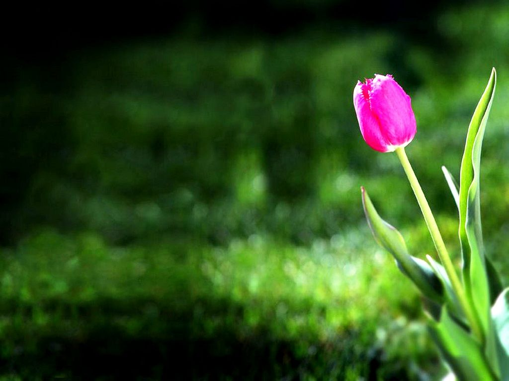 Tulip HD Wallpapers Backgrounds Wallpaper