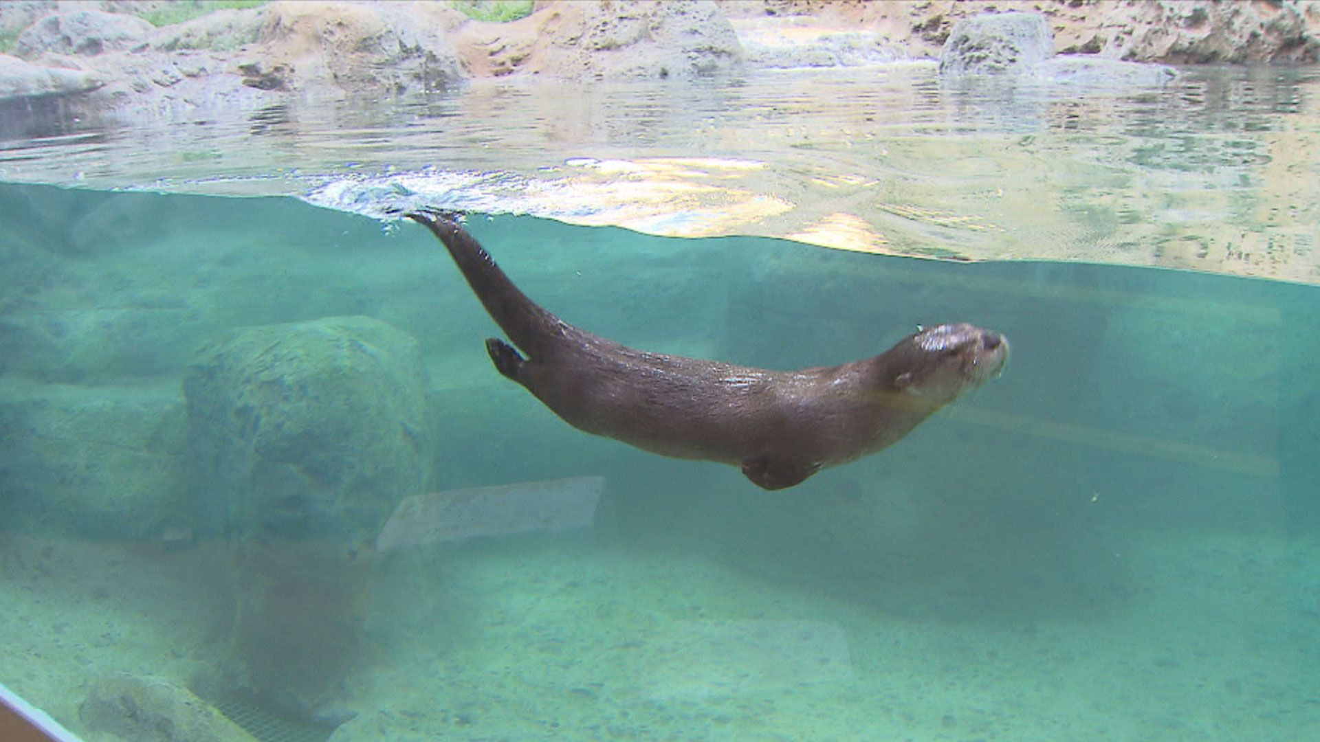river otter swimming -...