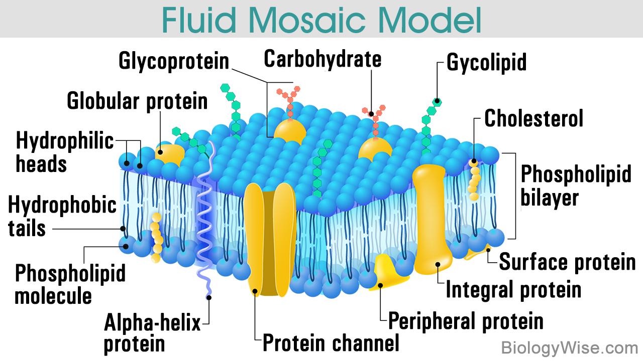 Cell Membrane Cell membrane, Protein, Biochemistry