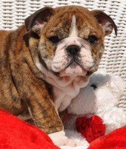Pin By Larisazi Mickiha On English Bulldog Puppies Puppies Pug