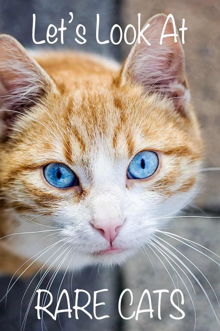 Rare Cat Breeds A Complete Guide By Rare cats, Cat