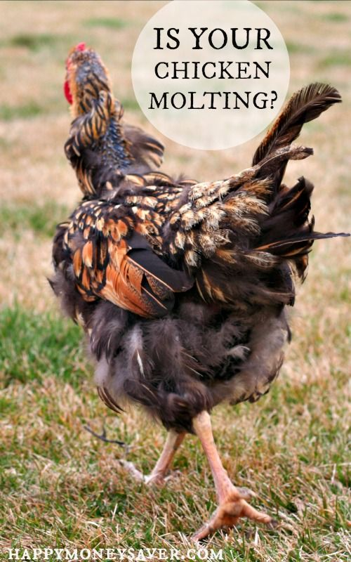 Losing Feathers Signs You Have A Chicken Molting Which Came First