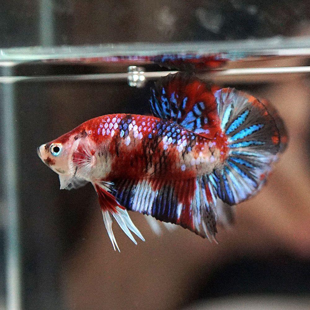 Galaxy Koi Halfmoon Plakat Betta Betta Live Fish For Sale Fish