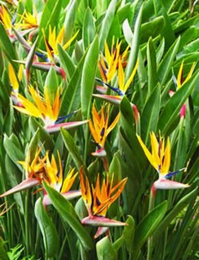California Palm Nursery Products Palm Trees Birds Of Paradise Plant Paradise Plant Birds Of Paradise Flower