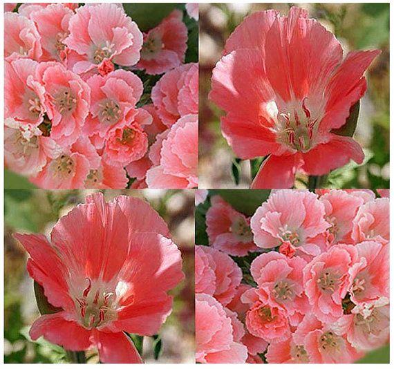 3 000 X Clarkia Godetia Dark Salmon Pink Flower Seeds Clarkia Amoena Color Dark Salmon Pink Flower Seeds Flowers Pink Flowers