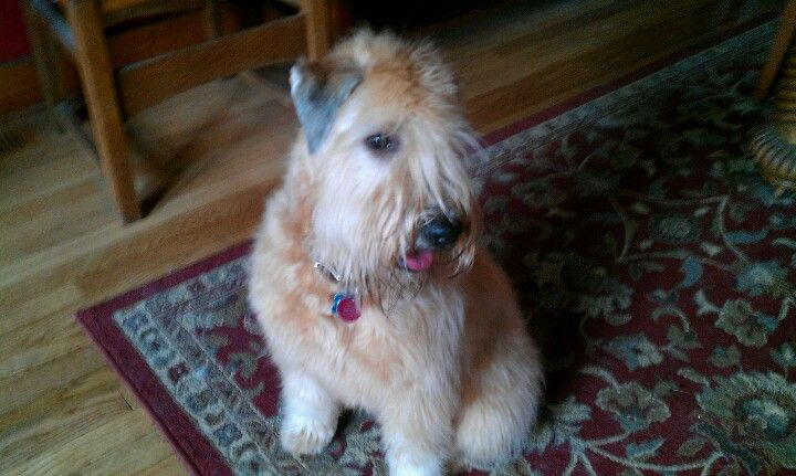 Mr. Personality, Soft Coated Wheaten Terrier