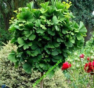 Milorzab Japonski Mariken Kulisty Producent 5100802940 Oficjalne Archiwum Allegro Ginkgo Biloba Ginkgo Flowering Trees