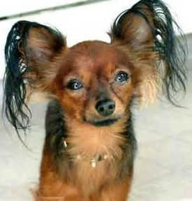 Russkiy Toy Terrier Learn All About This Tiny Devoted Breed