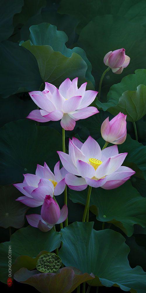 福美楽 Fukumiraku エキゾチックな花 蓮の花 睡蓮 花