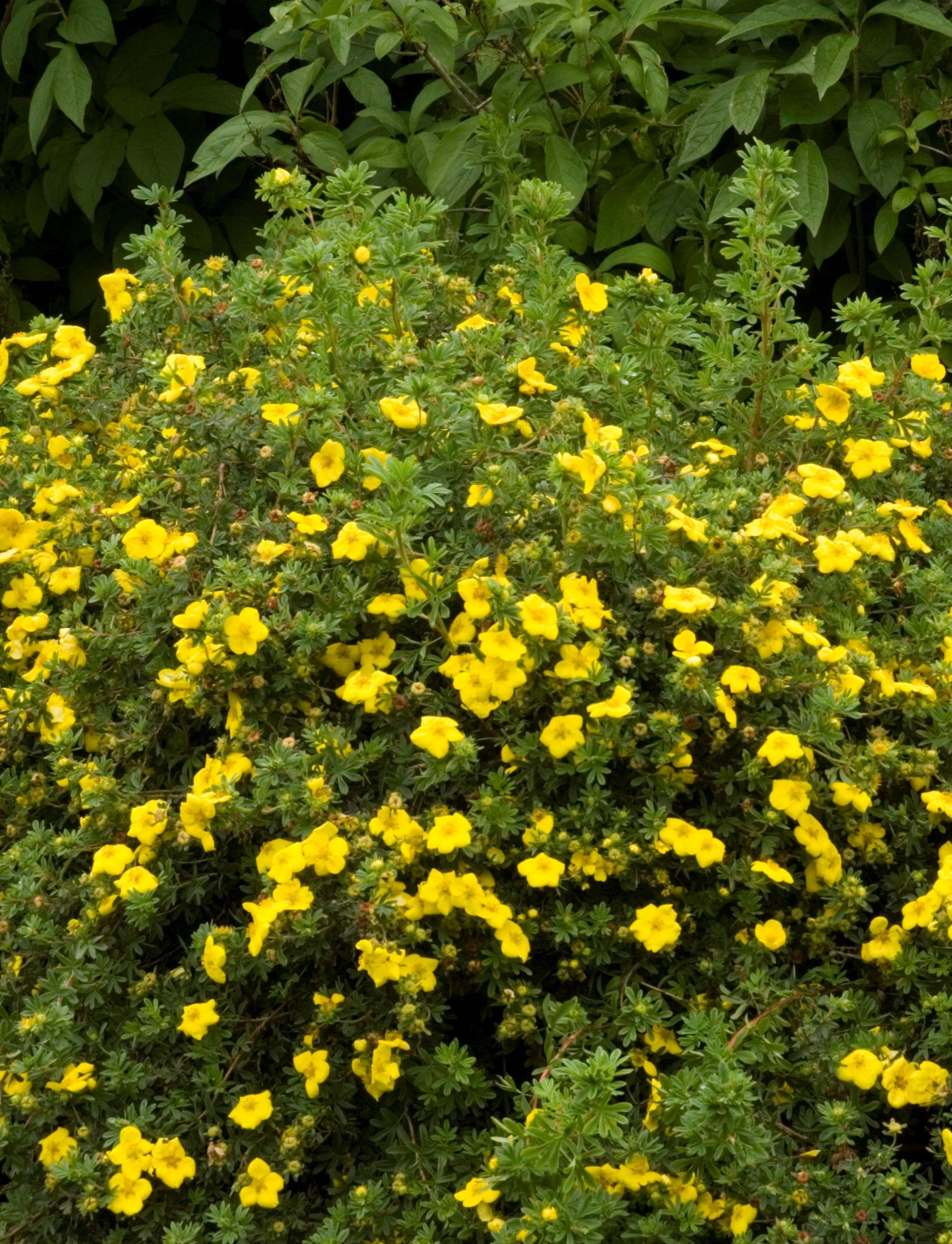 Goldfinger potentilla a versatile small shrub producing large goldfinger potentilla a versatile small shrub producing large rich yellow buttercup like flowers dhlflorist Gallery