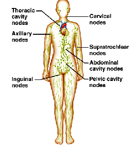Inguinal node diagram abdomen block and schematic diagrams lymph nodes pressure points pinterest lymph nodes lymphatic rh pinterest com men lymph node diagram diagram lymph nodes in hands ccuart Gallery
