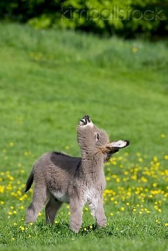 A Cute Donkey Foal Standing In The Pasture Exhibiting Flehmen Reponse