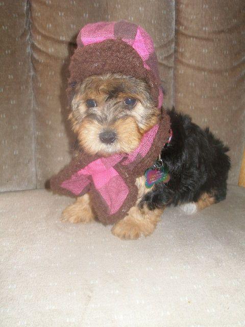 Puppies For Sale Yorkiepoos Yorkipoos In Marysville Kansas