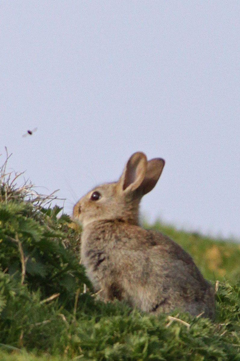 Rabbits on Glastonbury Tor