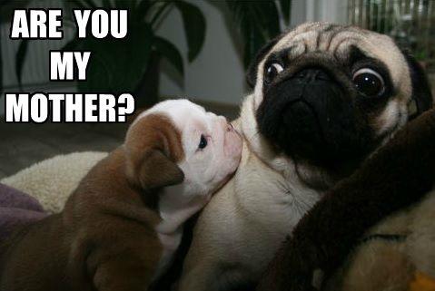 Funny Pug Dog Meme Pun Lol Pug Memes Pugs Funny Cute Pugs