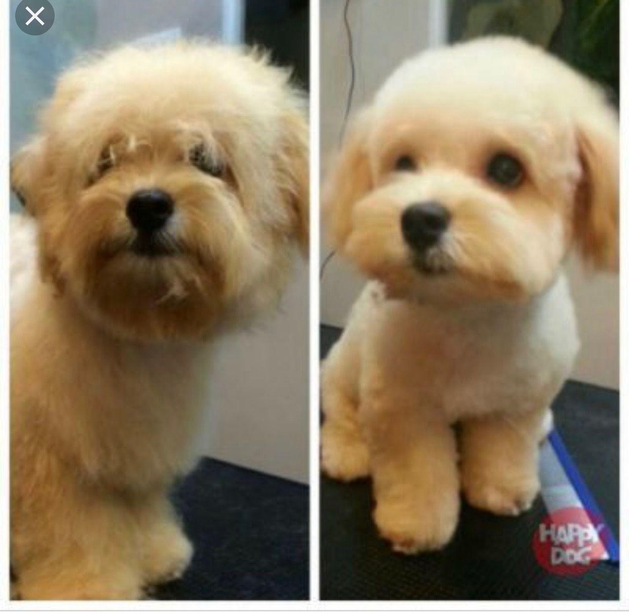 Pin By Odilia Rodriguez On Maltipoo Maltipoo Haircuts Dog