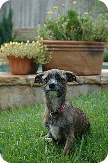 Mckinney Tx Border Terrier Mix Meet Simi A Dog For Adoption Hi