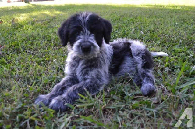 Blue Cadoodle Blue Heeler And Poodle Poodle Mix Puppies Blue Heeler Poodle Puppy