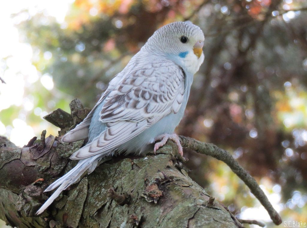 grey budgie by kiwipics.deviantart.com on @DeviantArt