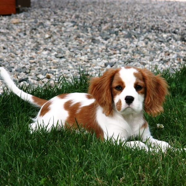 Cavalier King Charles spaniel are known to be well mannered and very quiet. They are happy dogs who always seem to be wagging their tails.