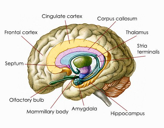 Awesome Information About the Location and Functions of the Amygdala