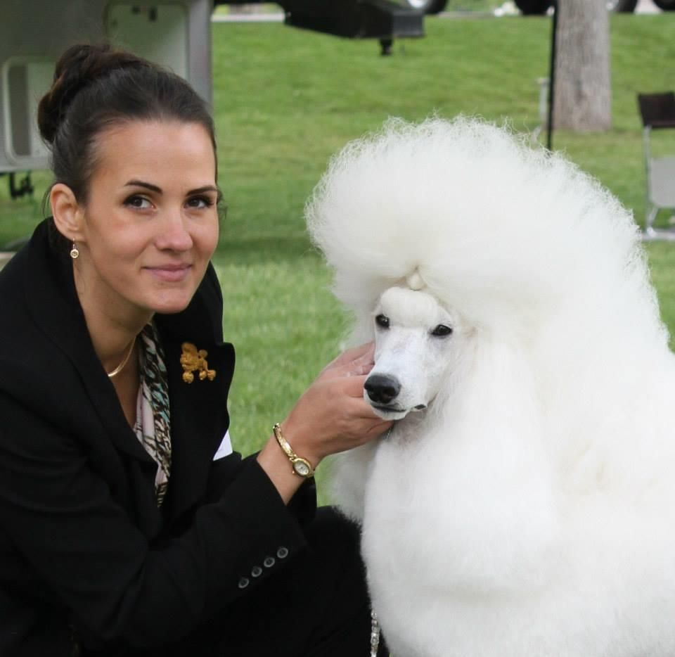 Munaut Standard Poodles Utah Standard Poodle Show Home And
