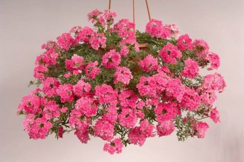 Verbena-Mix-Verbena-pendula-100-seeds-FLOWER
