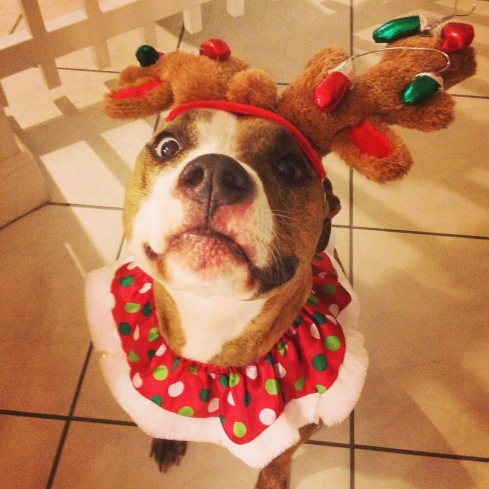 Christmas Pitbull | Christmas Cuties | Pinterest | Dog, Cat and Animal