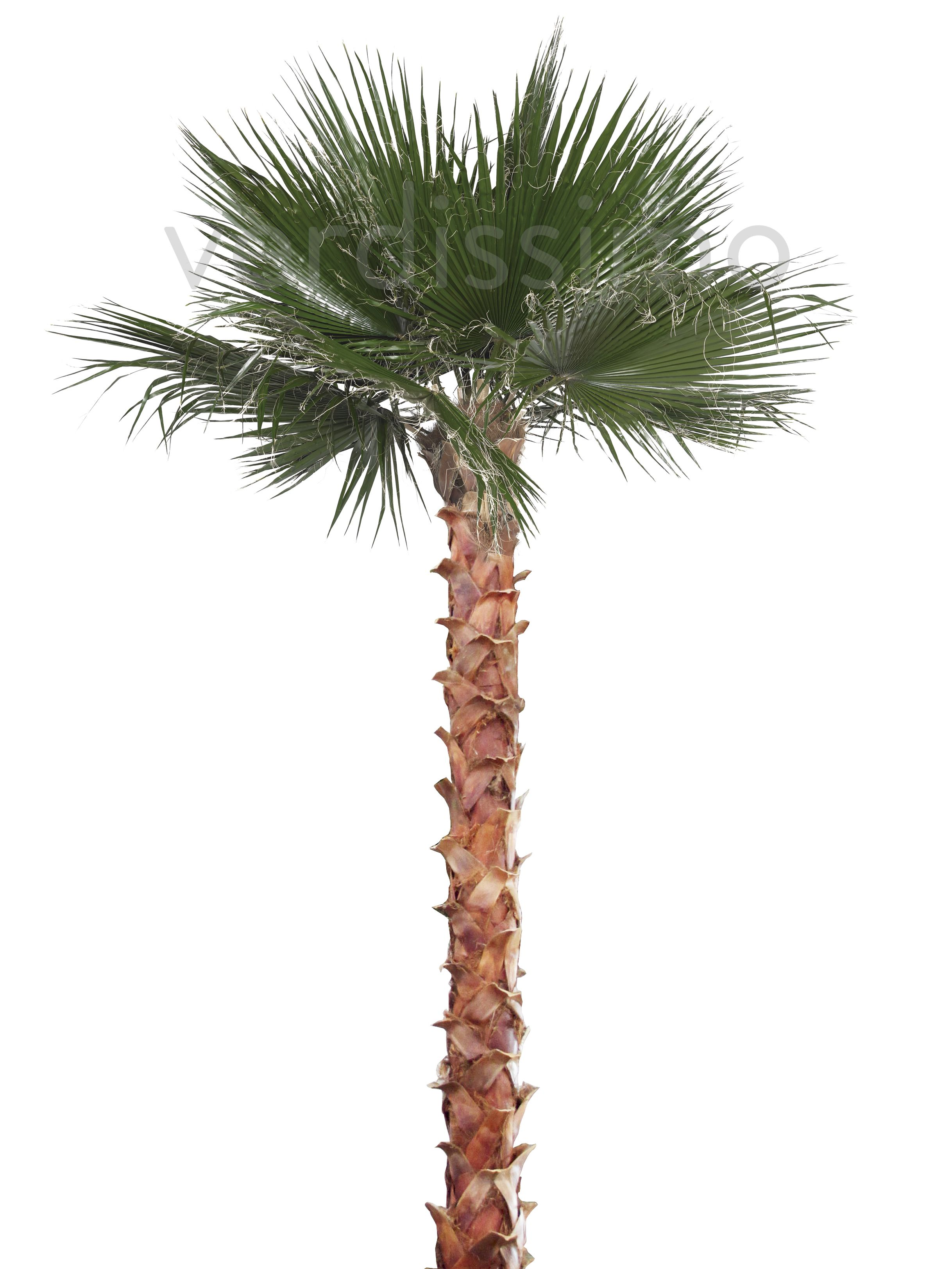 Palm Coconut Hardy Cold