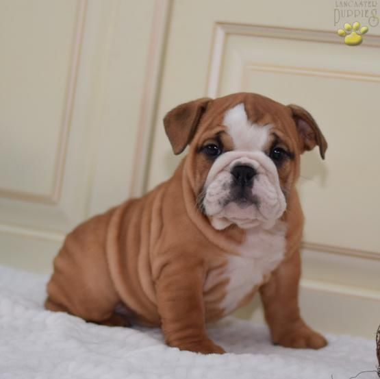 Bella English Bulldog Puppy For Sale In Millersburg Oh
