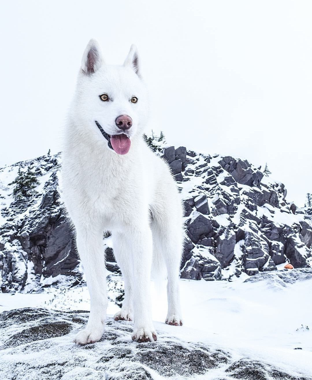 White Husky Siberianhusky Husky Dogs Siberian Husky