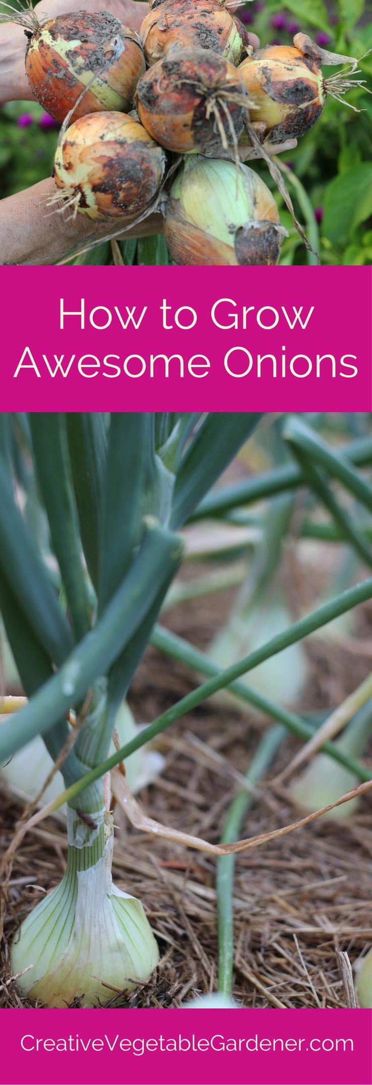Roses In Garden: How To Grow Awesome Onions In Your Garden