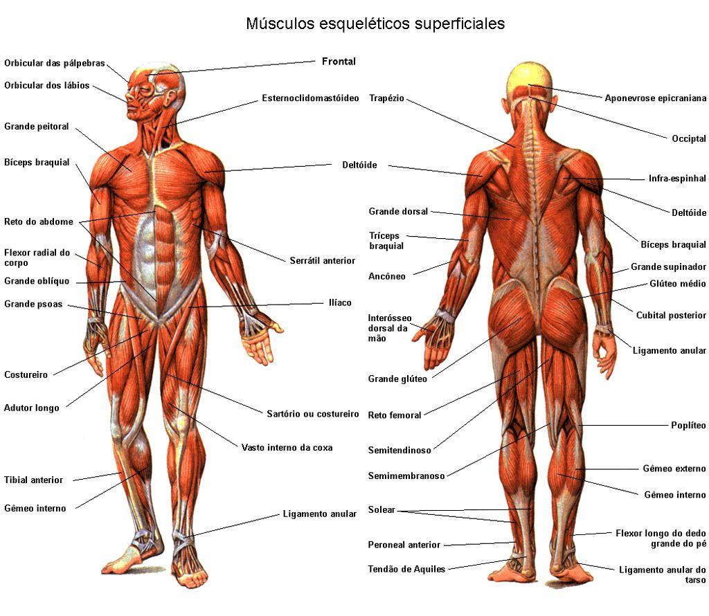 Músculos esqueléticos | primeros auxilios | Pinterest | Músculo ...