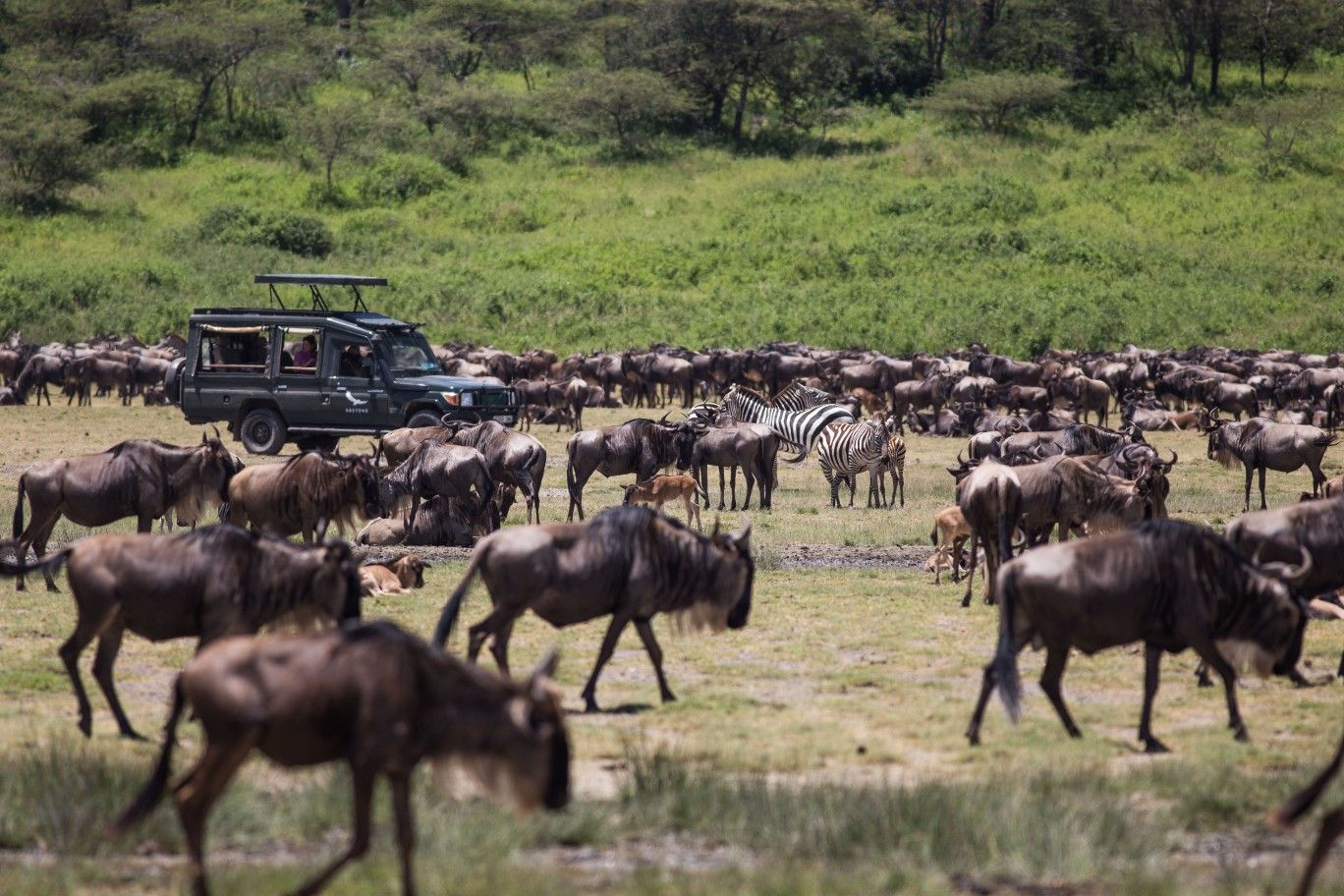 Herds of wildebeest at the Lake Ndutu in Serengeti Tanzanian..This was during the wildebeest calving season in February.