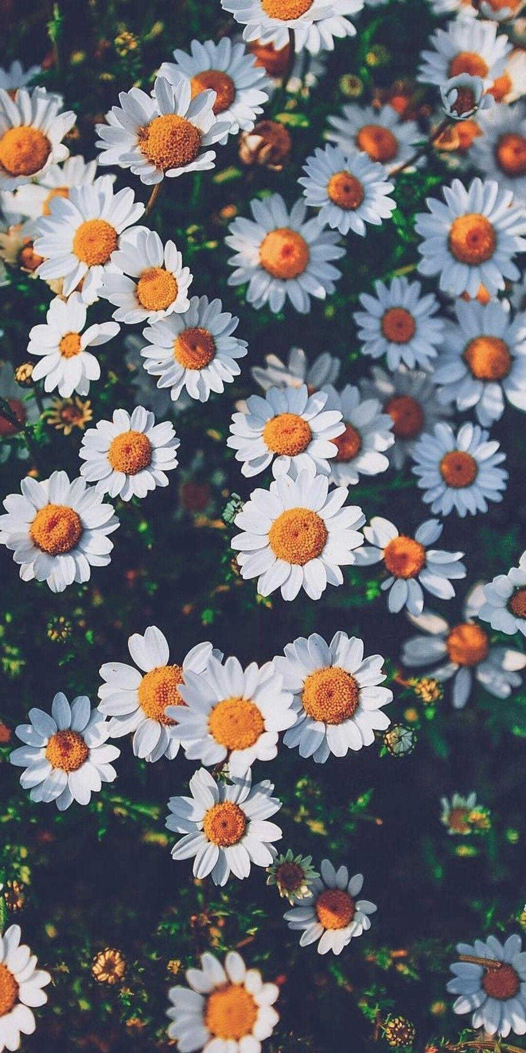 Pin Oleh Pauli Pussetto Di Flowers Latar Belakang Bunga Daisy Bunga Cat Air