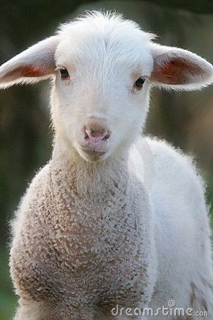Behold The Lamb Of God God S Plan Of Redemption For The Whole World Animaux Domestiques Animaux Moutons