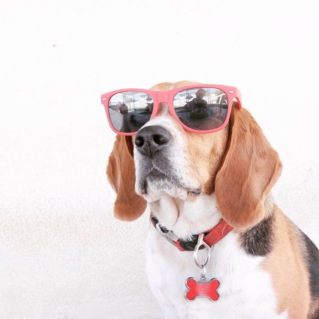 Adorable Beagle Wearing Glasses Fur Babies