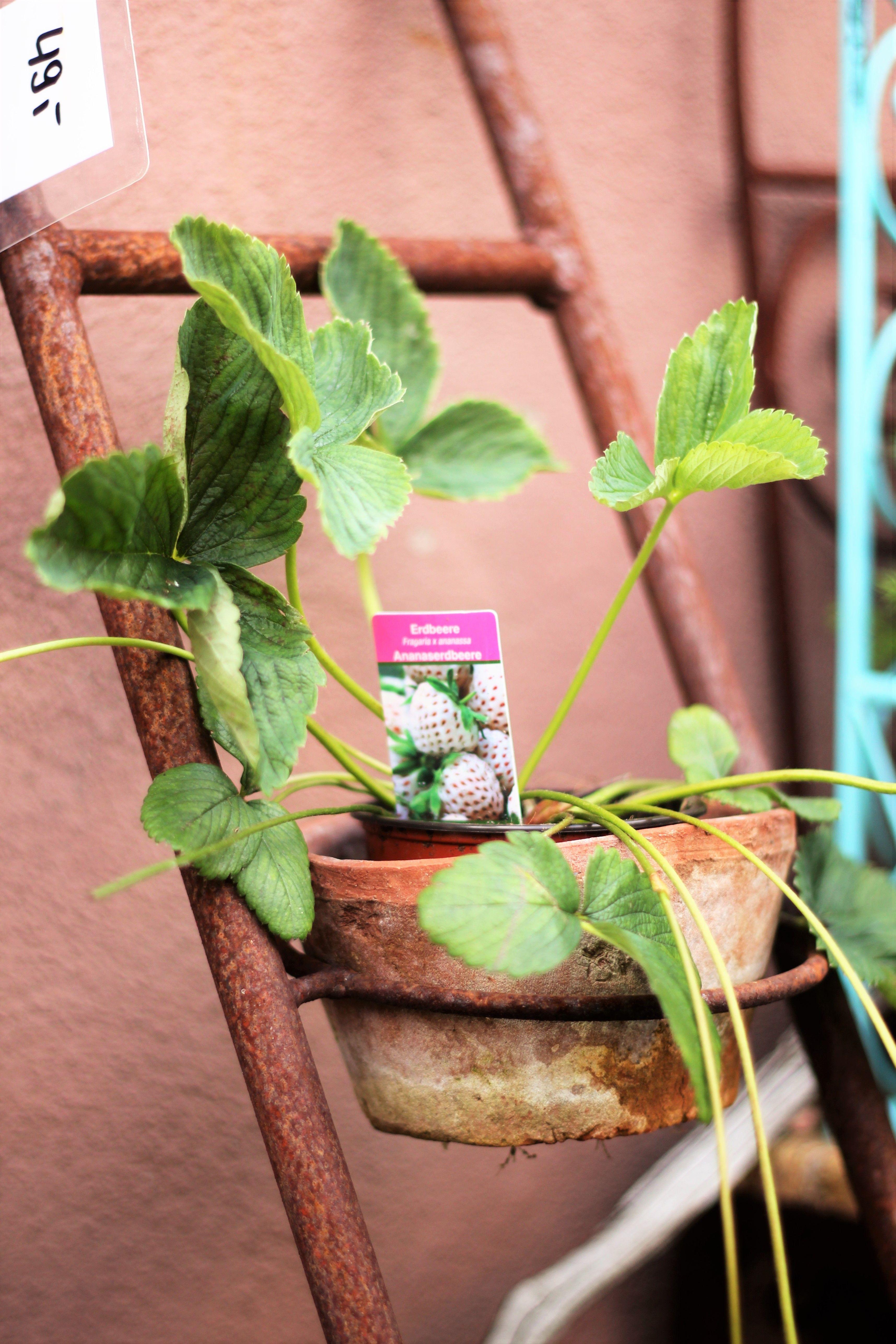 kräuterleiter aus eisen mady by brunnenschmiede tontöpfchen mit, Garten Ideen