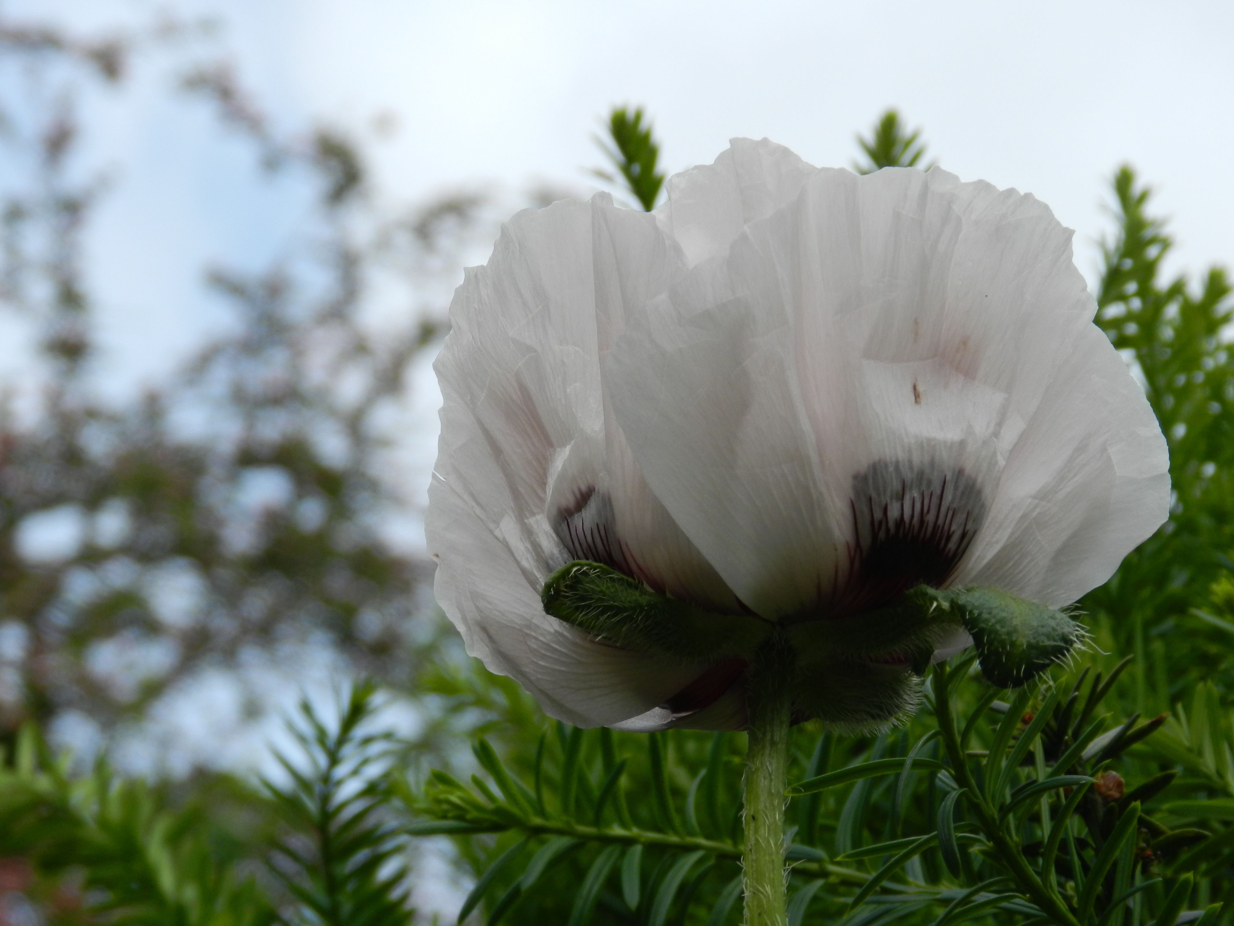 Poppy. If you listen carefully you can hear the frail petals unfold!