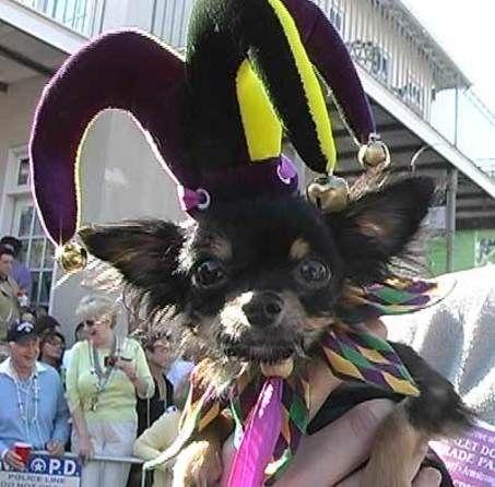 Krewe Of Barkus Dog Parade Dog Parade Mardi Gras Dog New