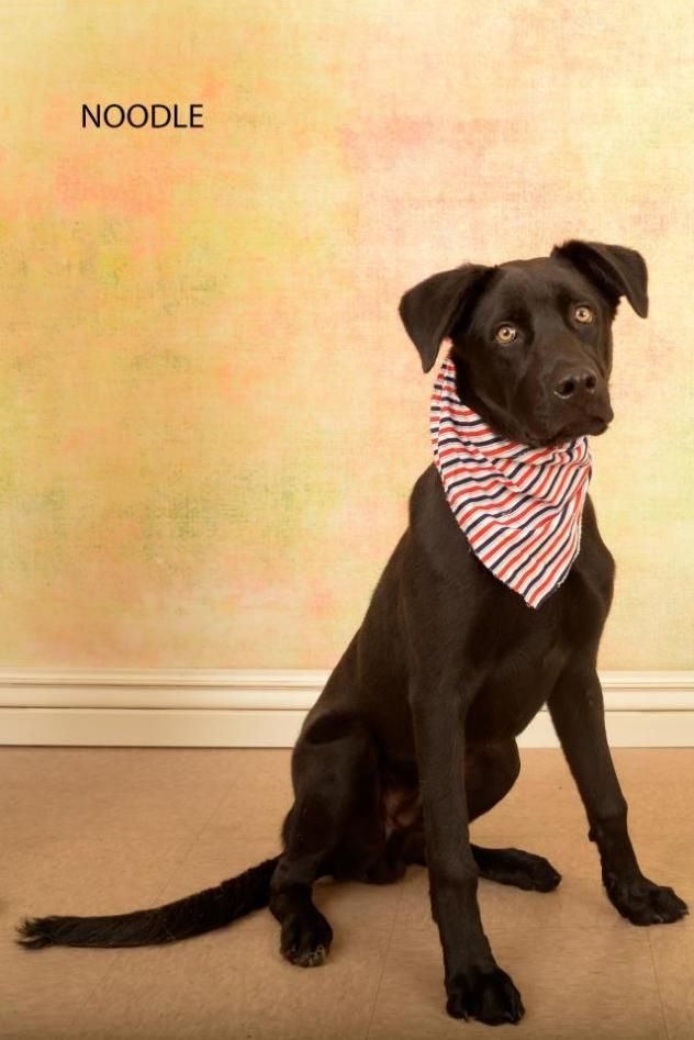Adopt Noodle On Labrador Retriever Mix Adoption Labrador Retriever
