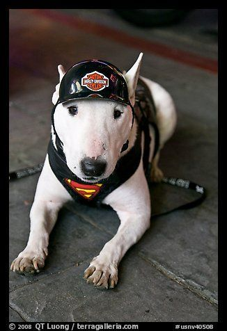 Bull Terrier Puppy Wearing Harley Davidson Gear Reno Nevada