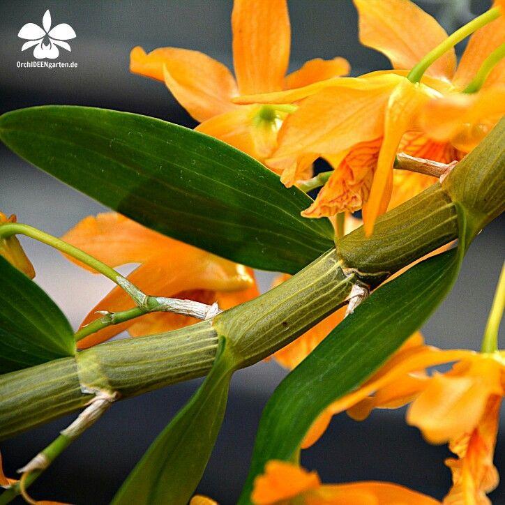 Dendrobium Nobile Stardust Firebird Orchideengarten Karge Orchideen Garten Orchideen Orchideenarten