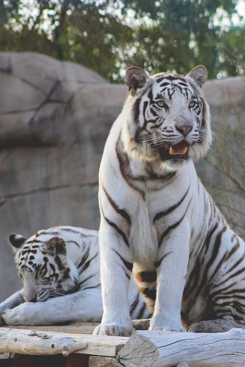 White Tigers Wild Cats Tiger Baby Tigers