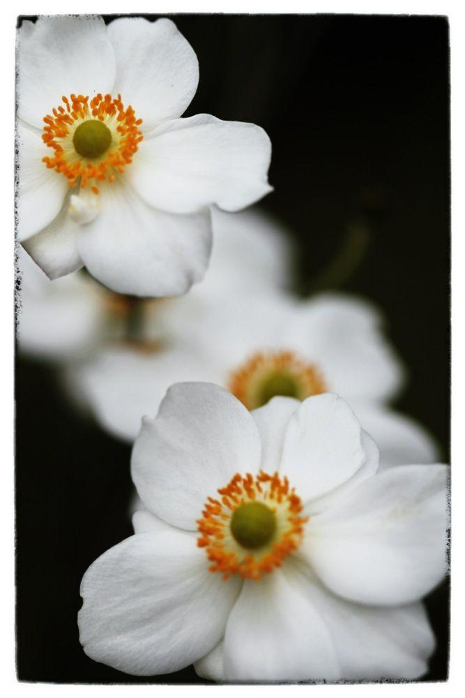 Anemone Hupehensis Var Japonica Anemone Magical Herbs Medicine