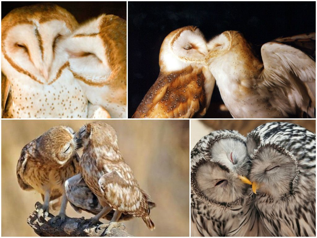 turns out that barn owls mate for life which is pretty awesome iturns out that barn owls mate for life which is pretty awesome i think these would make some insanely cute couple tattoos
