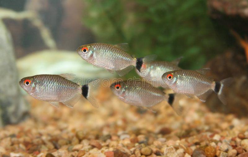 School Of Red Eye Tetra Fish School Of Red Eye Tetra Moenkhausia Oligolepis Ad Eye Tetra School Red Oligolepi In 2020 Tetra Fish Tetra Monster Fishing